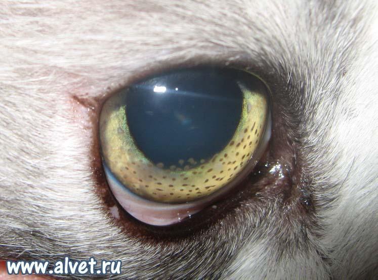 перитоните кошек (FIP)